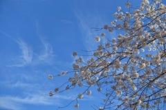 Λουλούδια άνοιξη στο θάμνο Στοκ εικόνα με δικαίωμα ελεύθερης χρήσης