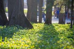 Λουλούδια άνοιξη στο πάρκο στα φω'τα ήλιων κορμός δέντρων, άνθρωποι στο υπόβαθρο Στοκ Φωτογραφίες