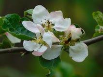 λουλούδια άνοιξη του άγριου δέντρου της Apple Στοκ Εικόνα