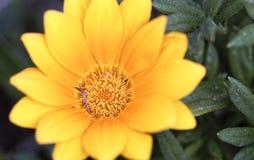 Λουλούδια άνοιξη του κίτρινου τύπου μαργαριτών Στοκ Εικόνες