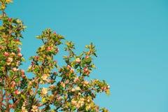 Λουλούδια άνοιξη του μήλου Στοκ Φωτογραφία