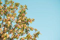 Λουλούδια άνοιξη του μήλου Στοκ Φωτογραφίες