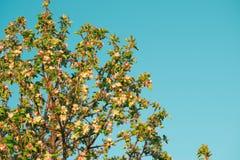 Λουλούδια άνοιξη του μήλου Στοκ φωτογραφίες με δικαίωμα ελεύθερης χρήσης