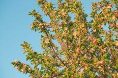 Λουλούδια άνοιξη του μήλου Στοκ εικόνες με δικαίωμα ελεύθερης χρήσης