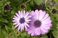 Λουλούδια άνοιξη του πορφυρού τύπου μαργαριτών Στοκ εικόνα με δικαίωμα ελεύθερης χρήσης