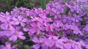 Λουλούδια άνοιξη, όμορφο floral υπόβαθρο της πορφύρας Στοκ Εικόνες