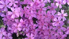 Λουλούδια άνοιξη, όμορφο floral υπόβαθρο της πορφύρας Στοκ εικόνα με δικαίωμα ελεύθερης χρήσης