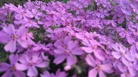 Λουλούδια άνοιξη, όμορφο floral υπόβαθρο της πορφύρας Στοκ εικόνες με δικαίωμα ελεύθερης χρήσης