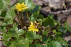 Λουλούδια άνοιξη FieYellow στο δασικό ηλιόλουστο δάσος με τα κίτρινα λουλούδια στοκ φωτογραφίες
