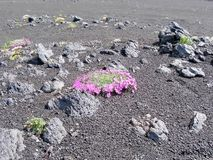 Λουλούδια άνοιξη Kamchatka Λουλούδια και λάβα του ηφαιστείου Κοιλάδα Geysers στοκ εικόνα