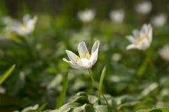 Λουλούδια άνοιξη nemorosa Anemone, ξύλο anemones στην άνθιση Στοκ Εικόνες