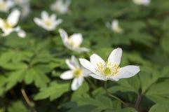 Λουλούδια άνοιξη nemorosa Anemone, ξύλο anemones στην άνθιση Στοκ Εικόνα