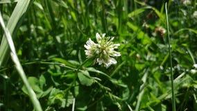 Λουλούδια άσπρου τριφυλλιού στον κήπο στον αέρα απόθεμα βίντεο