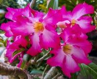 Λουλούδια αζαλεών που ανθίζουν στον κήπο στοκ εικόνα με δικαίωμα ελεύθερης χρήσης