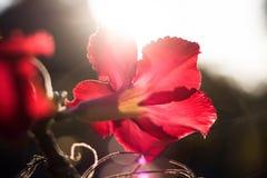 Λουλούδια αζαλεών στο χρόνο ηλιοβασιλέματος στοκ εικόνες