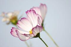 Λουλούδια αζαλεών Sims που ανθίζουν κάτω από τον ήλιο Στοκ φωτογραφίες με δικαίωμα ελεύθερης χρήσης
