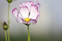 Λουλούδια αζαλεών Sims που ανθίζουν κάτω από τον ήλιο Στοκ φωτογραφία με δικαίωμα ελεύθερης χρήσης