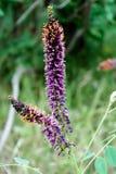 Λουλούδια ακακιών Ιώδη λουλούδια στοκ φωτογραφίες