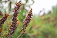Λουλούδια ακακιών Ιώδη λουλούδια στοκ φωτογραφία με δικαίωμα ελεύθερης χρήσης