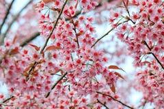 Λουλούδια ανθών ή sakura κερασιών, στην επαρχία Chiangmai, Ταϊλάνδη Στοκ Φωτογραφία