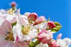 Λουλούδια ανθών της Apple με τα stamens και pistils Στοκ φωτογραφίες με δικαίωμα ελεύθερης χρήσης