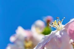 Λουλούδια ανθών της Apple με τα stamens και pistils Στοκ Εικόνες