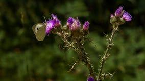 Λουλούδια από τον κήπο μου Πεταλούδα που σκαρφαλώνει σε έναν κάρδο στοκ φωτογραφίες