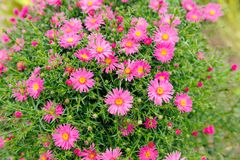 Λουλούδια αστέρων της Νέας Υόρκης στοκ εικόνα με δικαίωμα ελεύθερης χρήσης