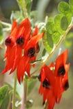 Λουλούδια, Αυστραλία Στοκ εικόνες με δικαίωμα ελεύθερης χρήσης