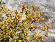 Λουλούδια βακκινίων Στοκ Εικόνες
