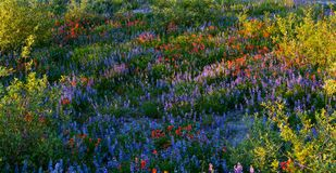 Λουλούδια βουνών στο υποστήριγμα Άγιος Helens στοκ φωτογραφίες με δικαίωμα ελεύθερης χρήσης
