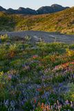 Λουλούδια βουνών στο υποστήριγμα Άγιος Helens στοκ εικόνες