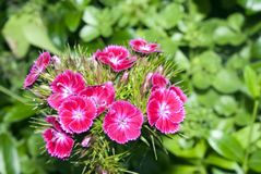 λουλούδια γαρίφαλων Στοκ Φωτογραφίες