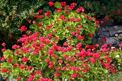 Λουλούδια γερανιών, νησί Aran, Ιρλανδία Στοκ Φωτογραφίες