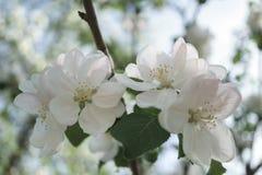 Λουλούδια δέντρων της Apple που ανθίζουν στον ηλιόλουστο κήπο Στοκ φωτογραφία με δικαίωμα ελεύθερης χρήσης