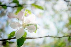 Λουλούδια δέντρων της Apple που ανθίζουν στον ηλιόλουστο κήπο Στοκ Εικόνα