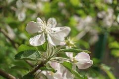 Λουλούδια δέντρων της Apple που ανθίζουν στον ηλιόλουστο κήπο Στοκ εικόνες με δικαίωμα ελεύθερης χρήσης