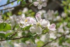 Λουλούδια δέντρων της Apple που ανθίζουν στον ηλιόλουστο κήπο Στοκ Φωτογραφία