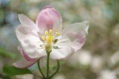 Λουλούδια δέντρων της Apple που ανθίζουν στον ηλιόλουστο κήπο Στοκ φωτογραφίες με δικαίωμα ελεύθερης χρήσης