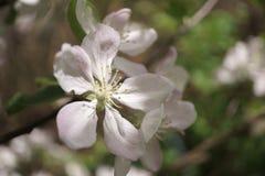 Λουλούδια δέντρων της Apple που ανθίζουν στον ηλιόλουστο κήπο Στοκ Εικόνες