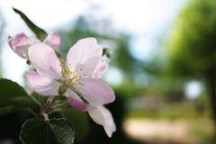 Λουλούδια δέντρων της Apple που ανθίζουν στον ηλιόλουστο κήπο Στοκ εικόνα με δικαίωμα ελεύθερης χρήσης