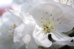 Λουλούδια δέντρων της Apple που ανθίζουν στον ηλιόλουστο κήπο Στοκ Φωτογραφίες