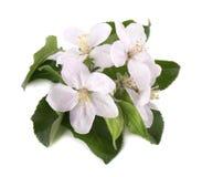 Λουλούδια δέντρων της Apple που απομονώνονται στο άσπρο υπόβαθρο Άνθη άνοιξη Στοκ Εικόνες