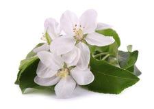 Λουλούδια δέντρων της Apple που απομονώνονται στο άσπρο υπόβαθρο Άνθη άνοιξη Στοκ φωτογραφία με δικαίωμα ελεύθερης χρήσης