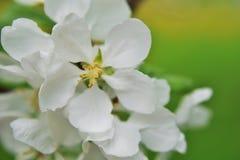 Λουλούδια δέντρων της Apple στην άνθιση στο πράσινο υπόβαθρο Στοκ φωτογραφία με δικαίωμα ελεύθερης χρήσης