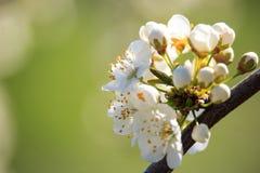 Λουλούδια δέντρων της Apple στο ηλιοβασίλεμα Στοκ Φωτογραφίες
