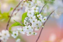 Λουλούδια δέντρων της Apple στο θολωμένο υπόβαθρο χρώματος Στοκ φωτογραφία με δικαίωμα ελεύθερης χρήσης