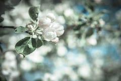 Λουλούδια δέντρων της Apple στο θολωμένο υπόβαθρο Στοκ Εικόνες