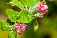 Λουλούδια δέντρων της Apple στο πράσινο υπόβαθρο Στοκ φωτογραφία με δικαίωμα ελεύθερης χρήσης