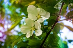 Λουλούδια δέντρων της Apple το σπόρος-φέρον μέρος εγκαταστάσεων, που αποτελείται από τα αναπαραγωγικά όργανα stamens και carpels  Στοκ φωτογραφίες με δικαίωμα ελεύθερης χρήσης